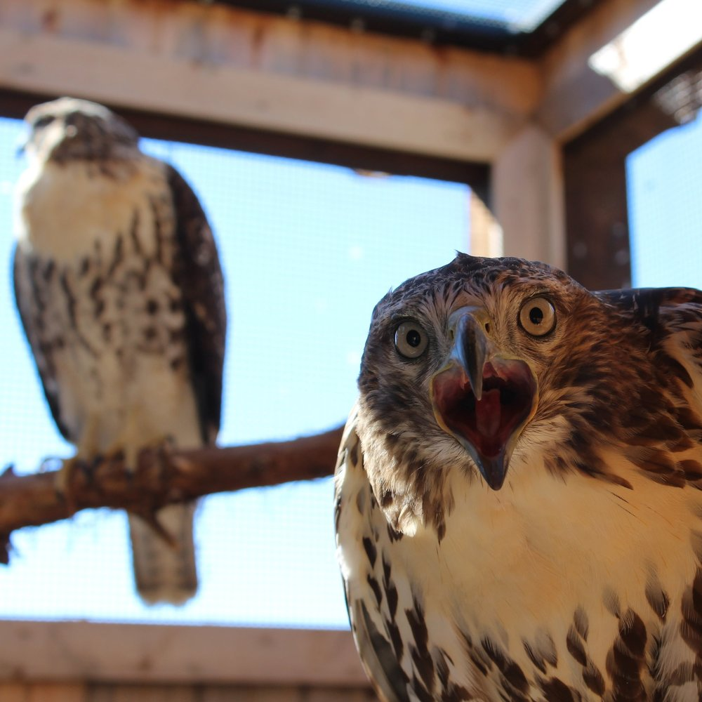 Red-tails_1.jpg