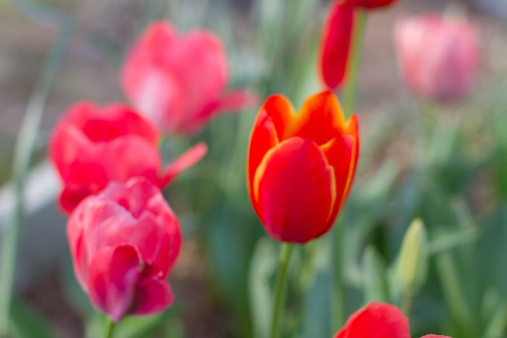Tulips - April 2017 044.jpg