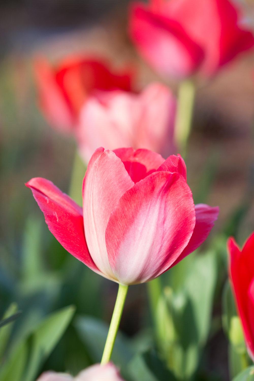 Tulips - April 2017 060.jpg
