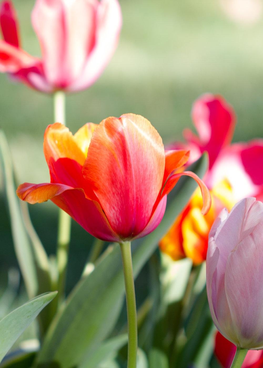 Tulips - April 2017 069.jpg