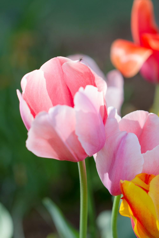 Tulips - April 2017 072.jpg