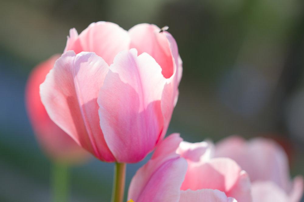 Tulips - April 2017 073.jpg