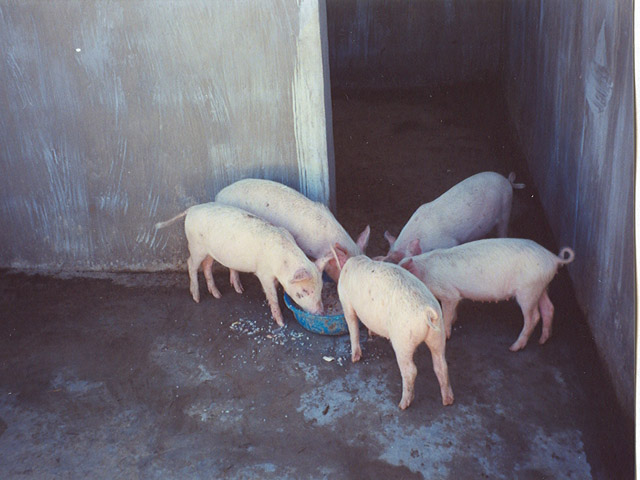 Thirty pigs that SCF purchased for Orphanage farm for 300