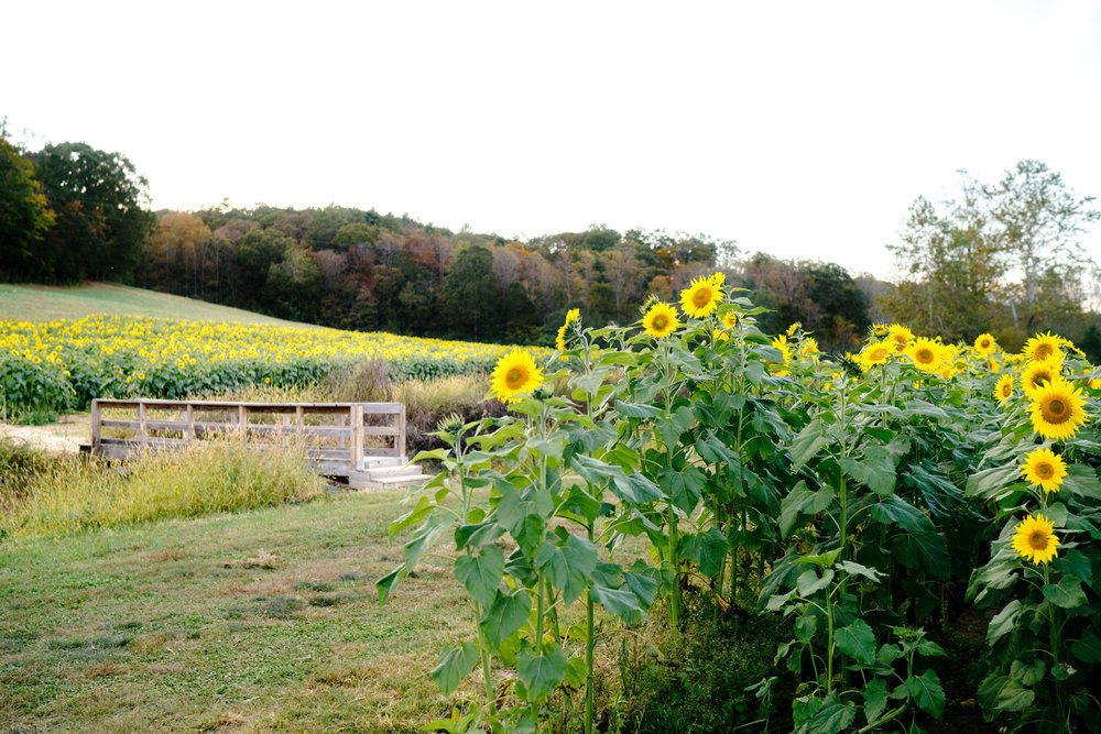 Where to find sunflower fields in Georgia | Never Settle Travel