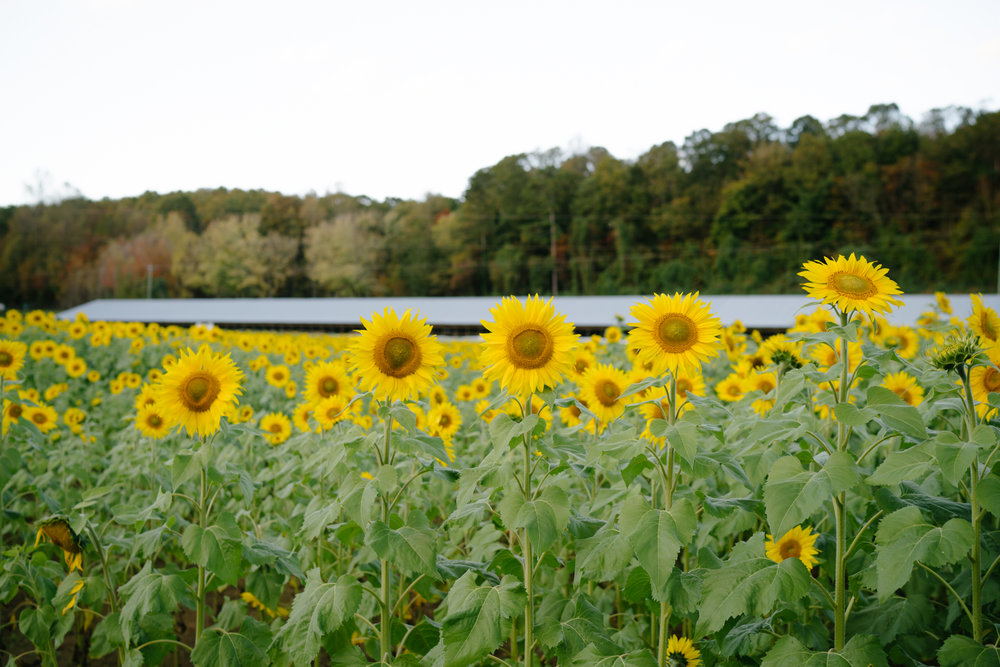 North Georgia Sunflower Fields | Never Settle Travel