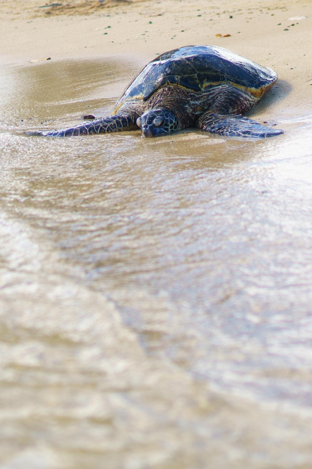 Sea Turtle at Poipu Beach | Never Settle Travel