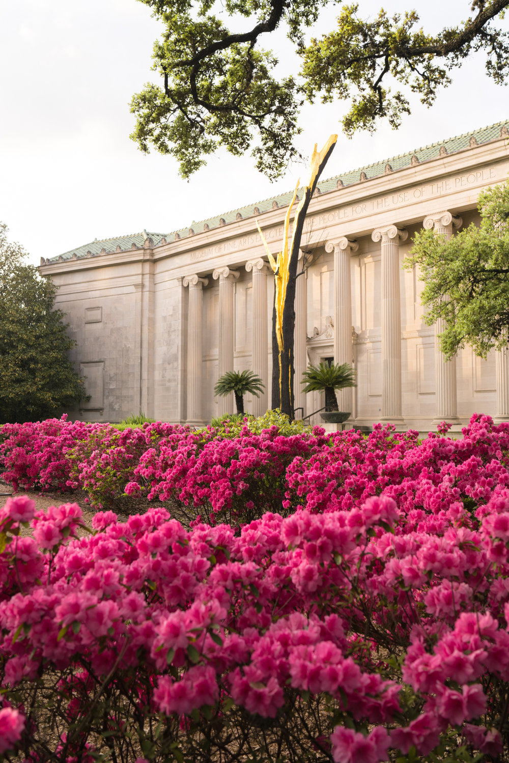 Azalea blooms in front of the Museum of Fine Arts Houston