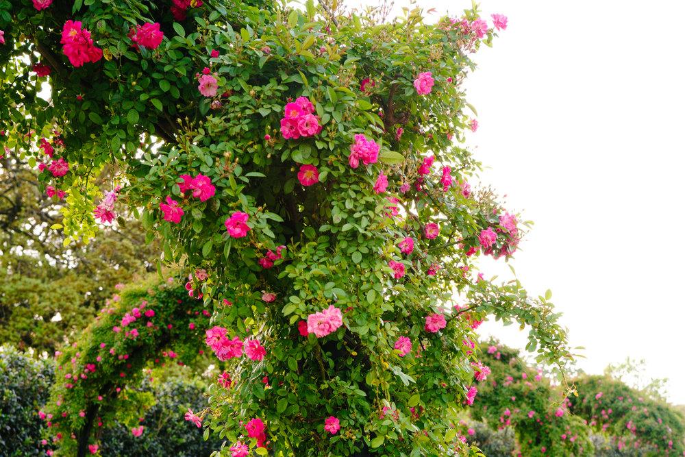Roses bloom in a Hermann Park
