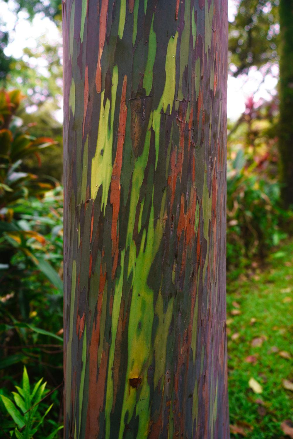 Rainbow Eucalyptus Tree | Never Settle Travel