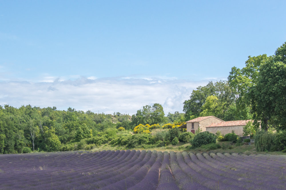 How to find the lavender fields in Provence, France
