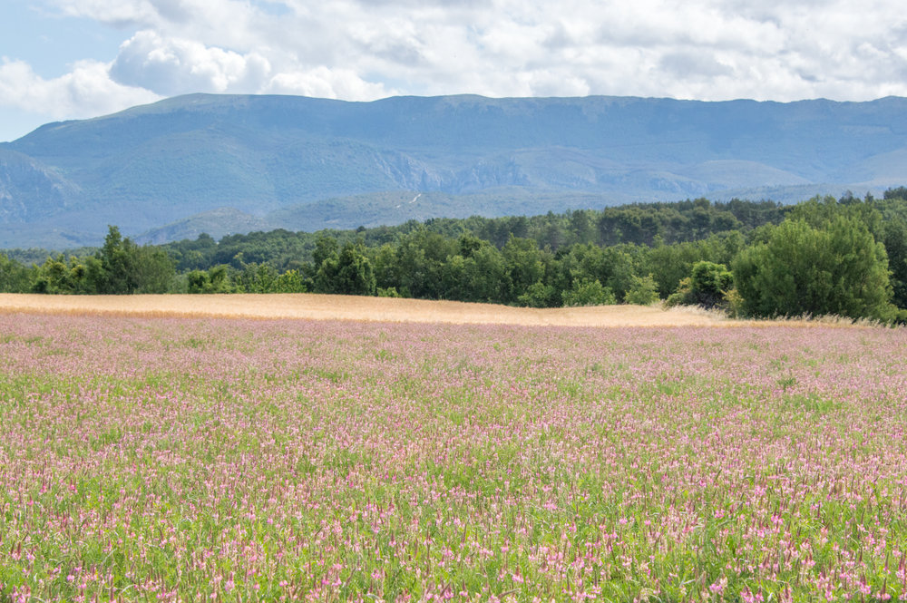Pink lavender fields in Provence
