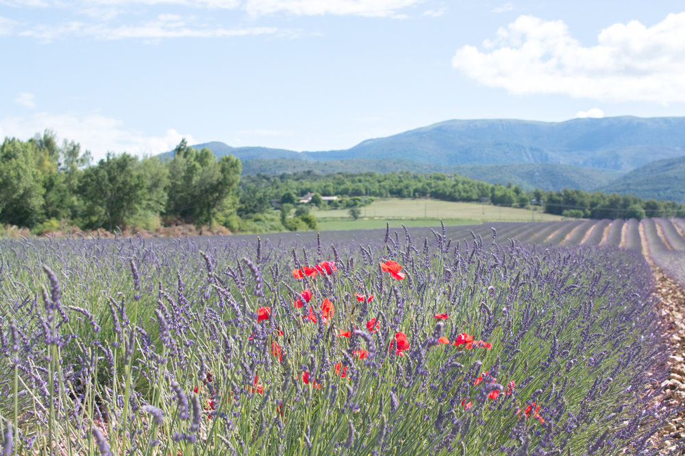 Where to find the lavender fields in Provence