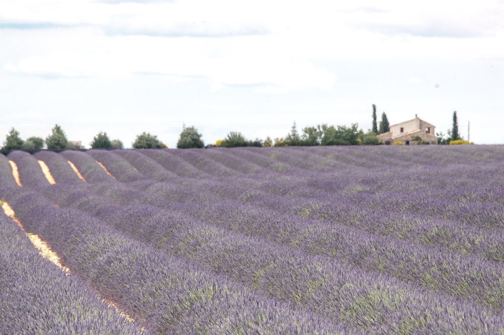 How to find the lavender fields in Provence