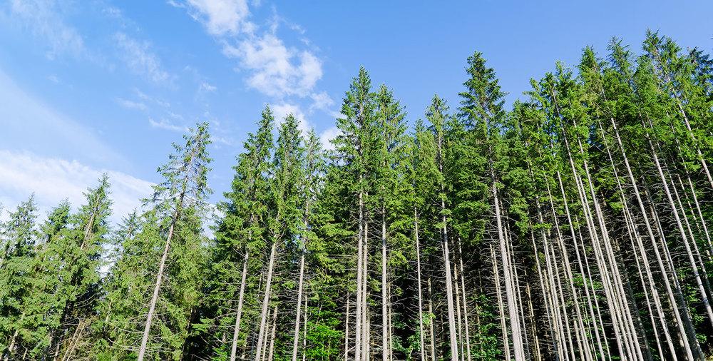 pine-forest-under-cloudy-blue.jpg