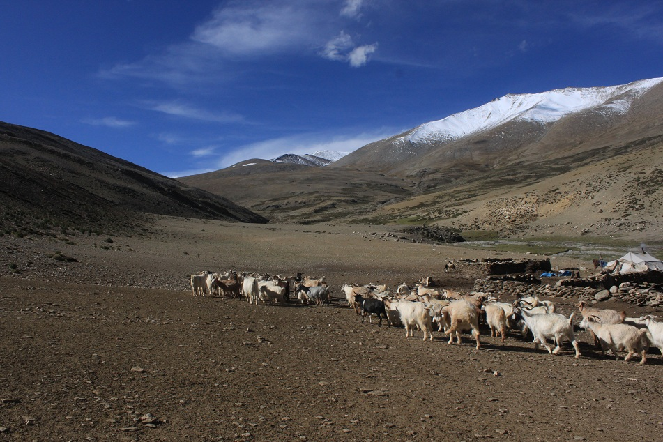 Pashmina Cashmere herd in the Changthang plateau in the Himalayas.