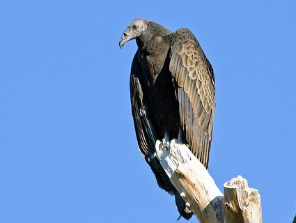 turkey_vulture_4.jpg