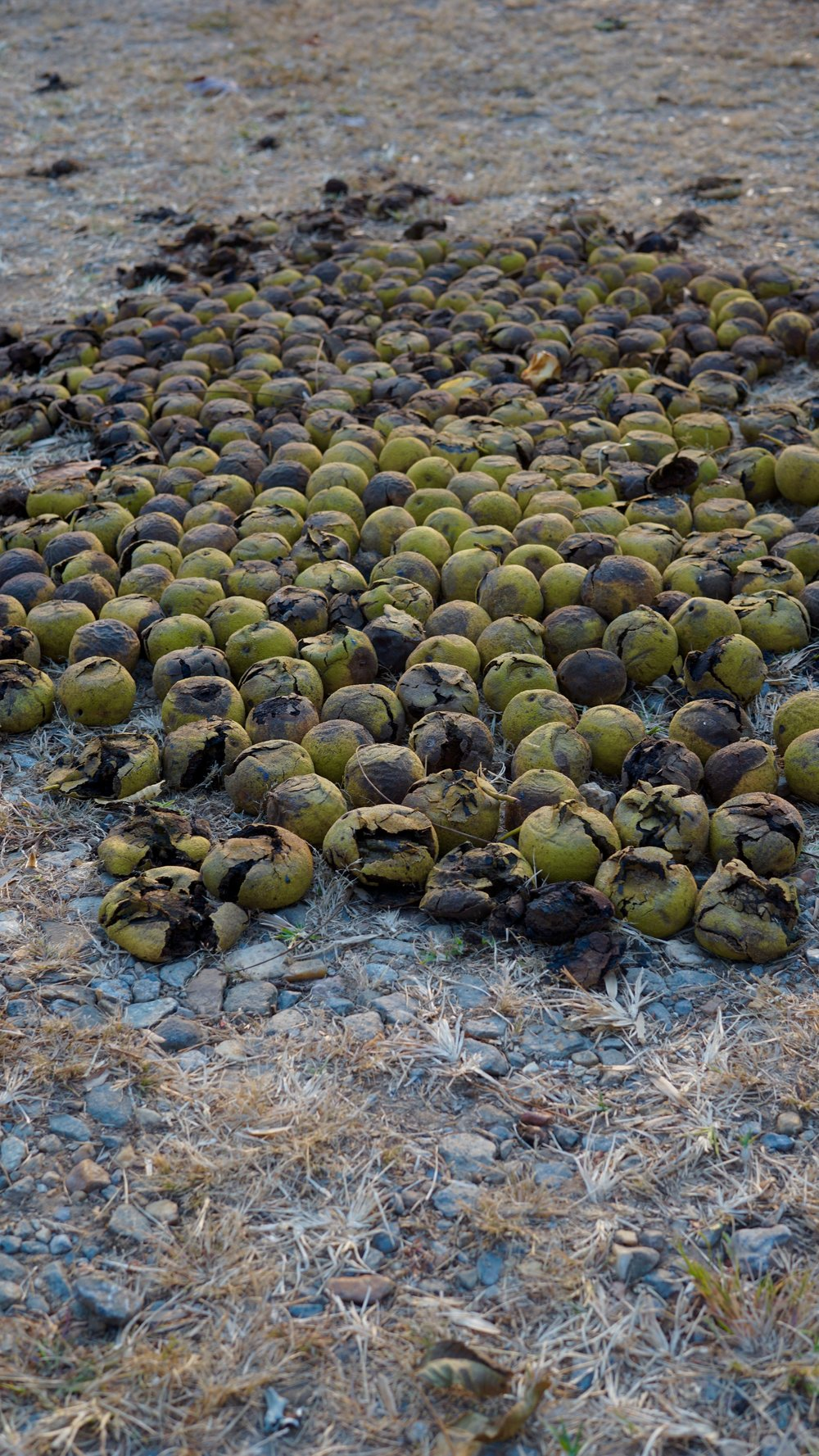 Walnuts on the driveway, waiting to be cracked open by the weight of a car.