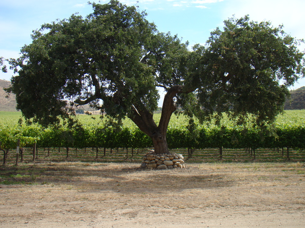 Lone Oak in the Cabernet Sauvignon Vineyard