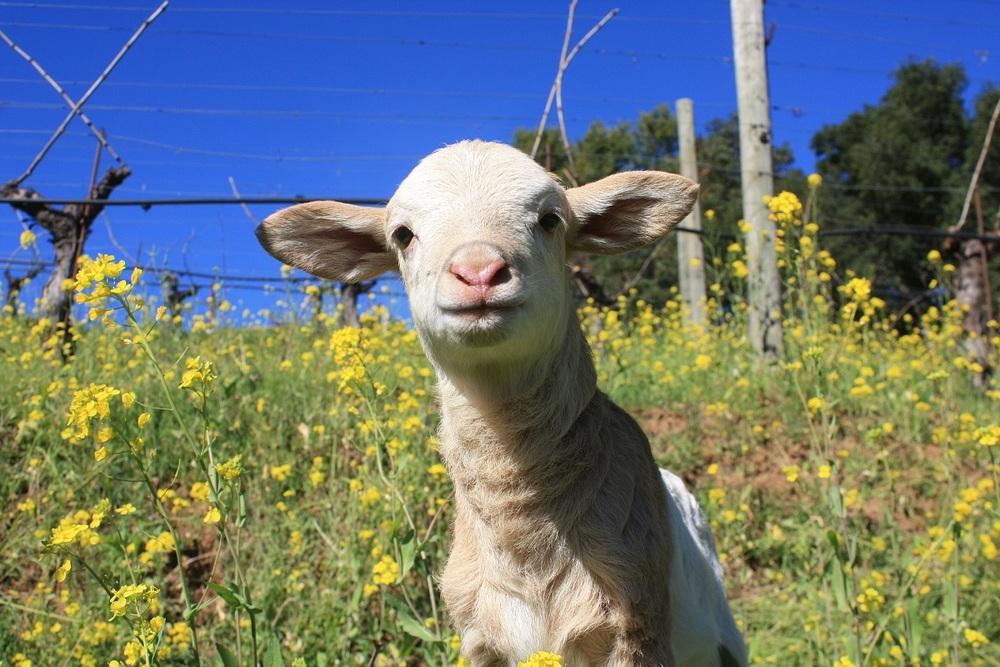 BZ Wilbur the Lamb.jpg