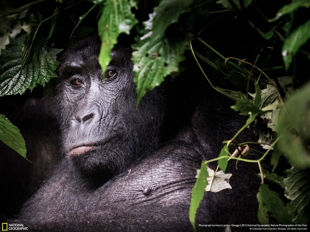 In the Shadows by Harry Lyndon-Skeggs: Hiking with the local guides, we stumbled upon this Mountain Gorilla peering curiously from the depths of the Impenetrable Forest. Location: Uganda