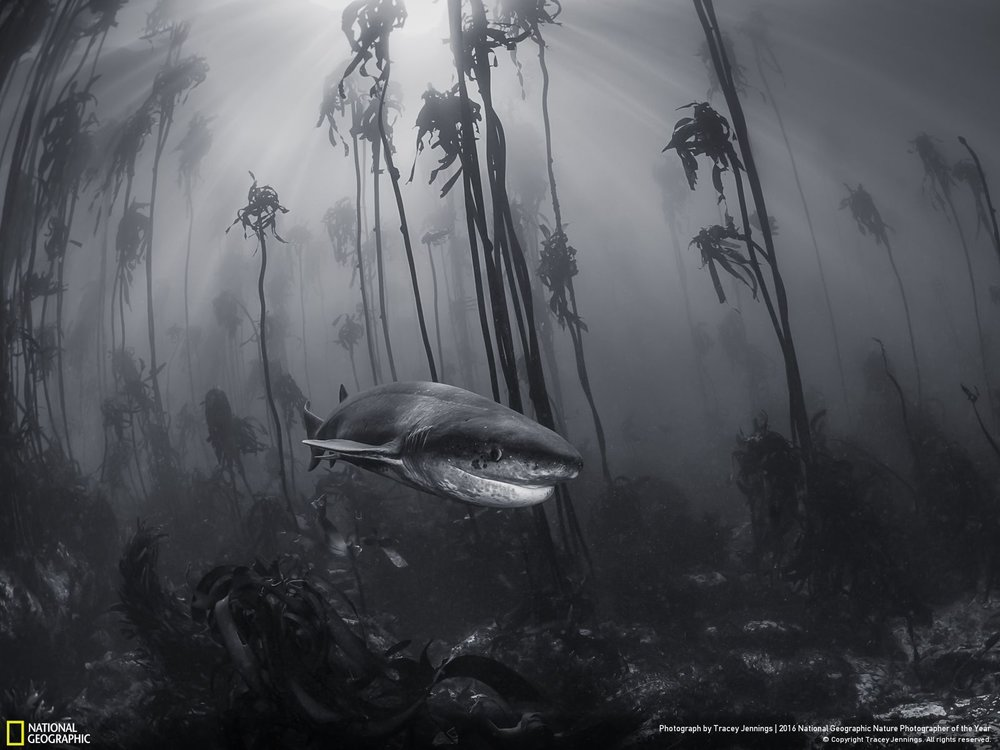 Mystical Forest by Tracey Jennings: You don't need to travel far from cities to visit Narnia. This 7 gill shark was photographed in a kelp forest just off the shore of Simonstown near Cape Town. Location: South Africa