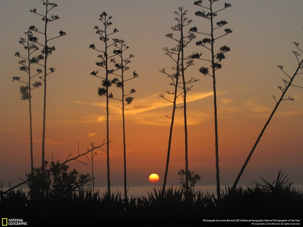 Atlantic Sunrise with Century Plants by Lonnie Benzel: This is an early sunrise I stood by the century plants waiting patiently for the sun to rise over the horizon for this shot. United States