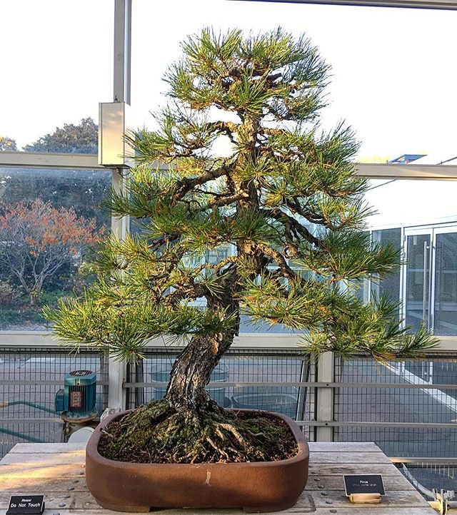 Tremendous Bonsai! Probably started from a kit bought from urban outfitters. #bonsai