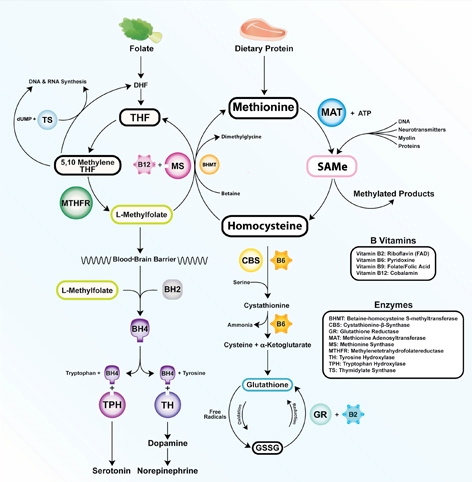 Figure 1 - The Methylation Cycle:  Taken from  http://www.currentpsychiatry.com/fileadmin/cp_archive/images/1201/1201CP_Ramsey-fig1.jpg