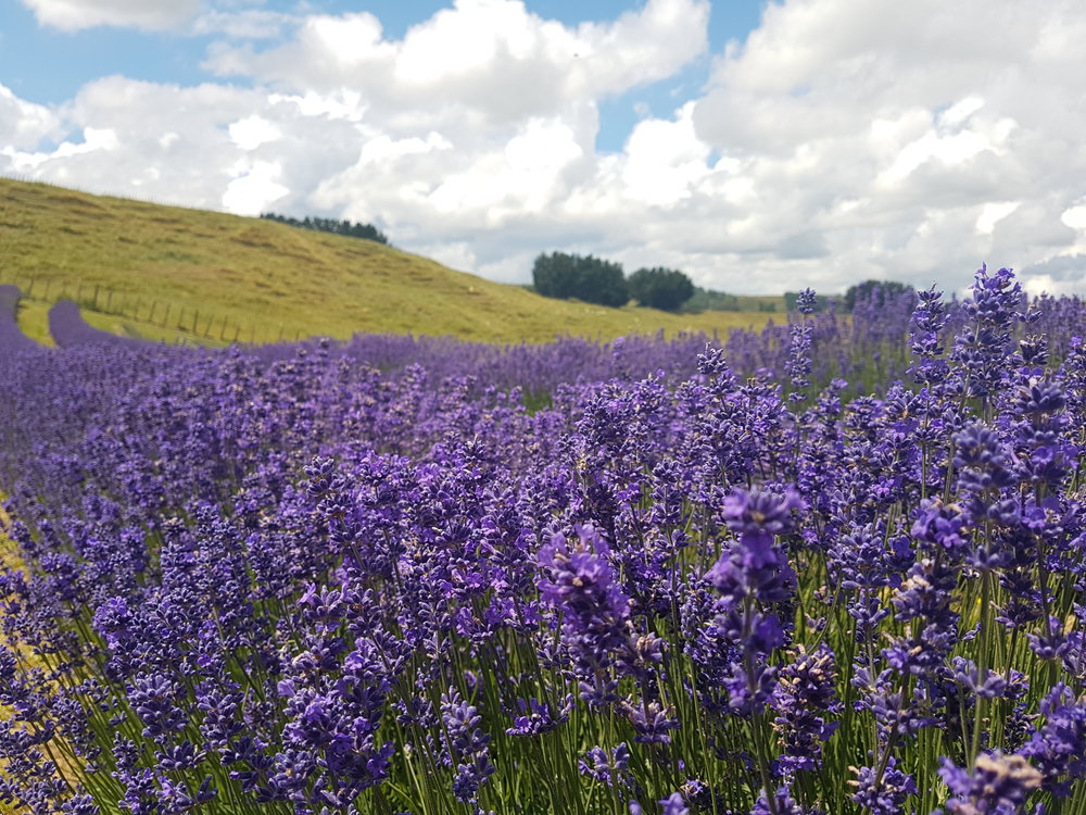 Manawatu New Zealand Lavender Field