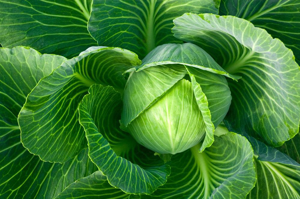cabbage[1].jpg