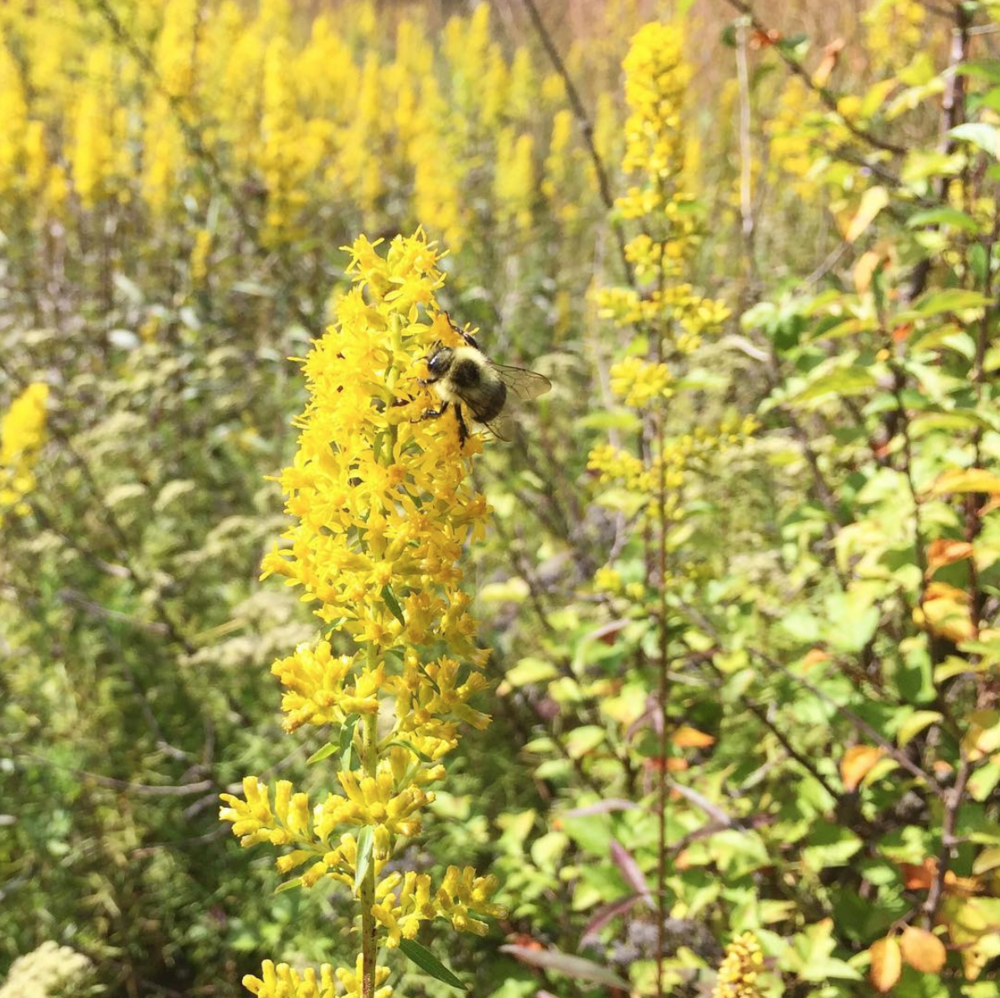 A photo of showy goldenrod with a bee gathering nectar.