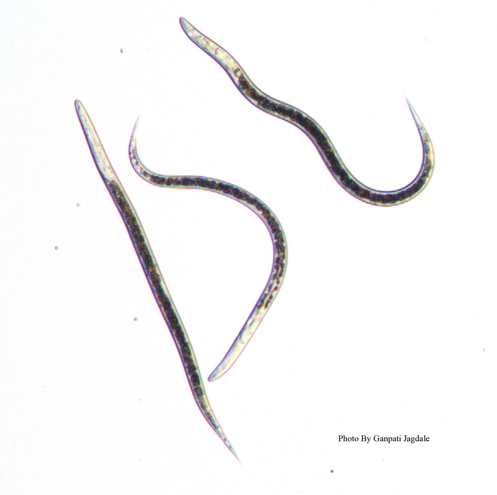 Infective Juveniles of entomopathogenic nematodes