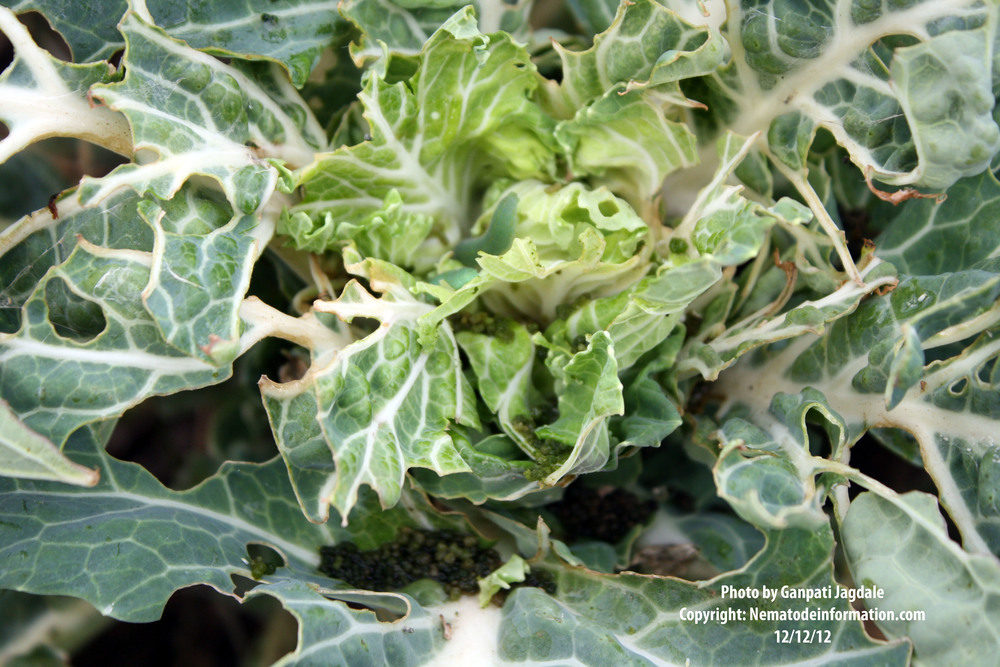 Collard Greens damaged by Imported Cabbage worm
