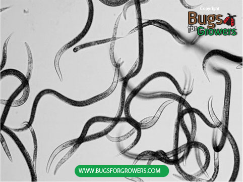 Beneficial Entomopathogenic Nematodes
