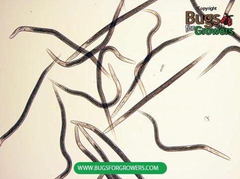 Photo 3.  Heterorhabditis bacteriophora  nematodes