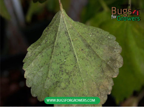 Photo 3. Leaf showing growth of black sooty mold on its lower surface.  of lIndirect damage is caused when whiteflies secrete honeydew that promotes the growth of black sooty mold on the surface of infested leaves.