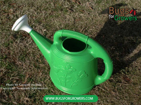 Photo 5. Watering can is easy to use for spraying of beneficial  Steinernema feltiae  nematodes on the foliage.