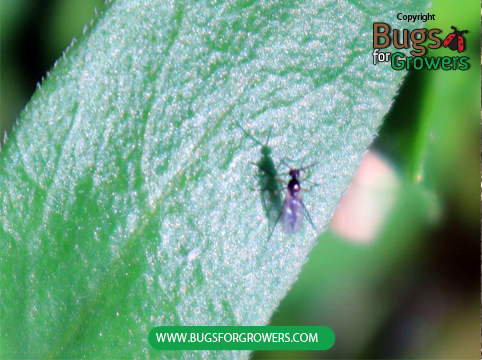 Photo 1. An adult of fungus gnat