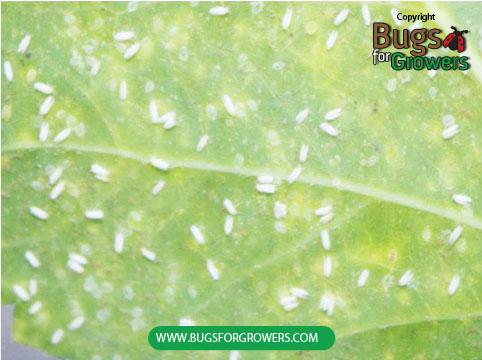 Photo 1. Greenhouse whiteflies