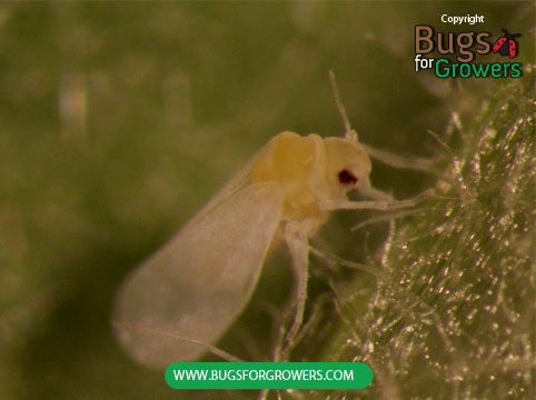 An adult of greenhouse whitefly