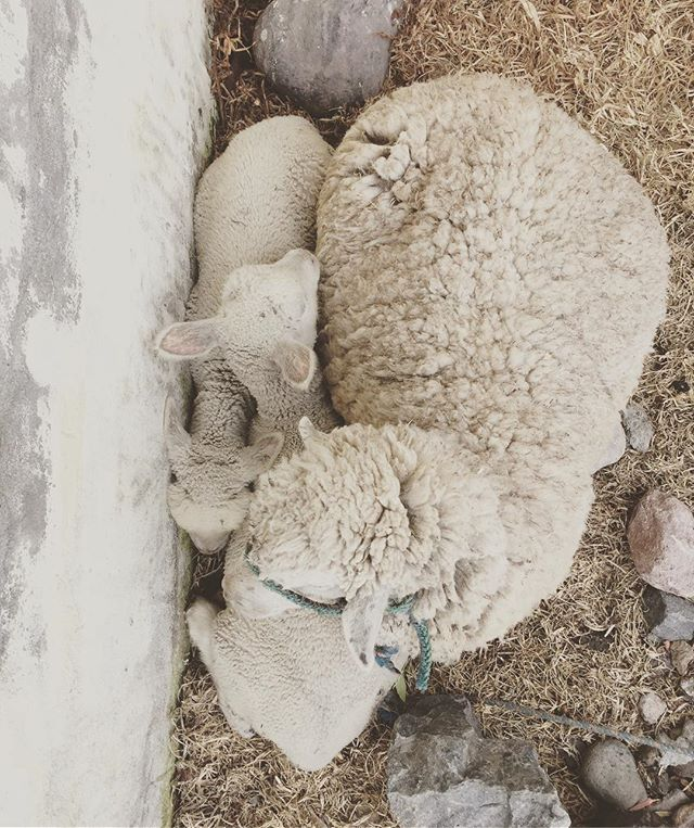Nap time 😴 #sheep #sustainable #wool #fiber #natural #andesmaterials #lamb