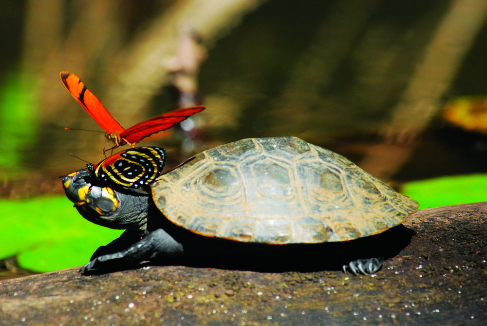 turtle_amazon_peru