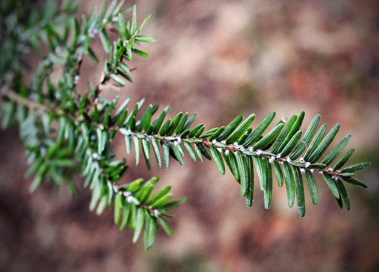 By Nicholas A. Tonelli from Northeast Pennsylvania, USA (Hemlock Woolly Adelgid) [CC BY 2.0 (http://creativecommons.org/licenses/by/2.0)], via Wikimedia Commons