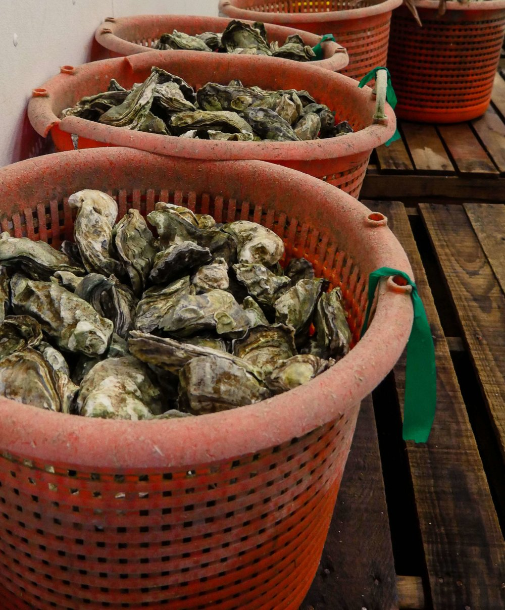 Oysters stored in chilled area