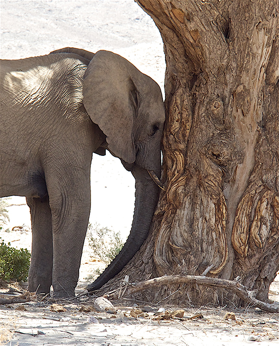 A desert elephant resting in the heat of the day. It was 42 deg C when this picture was taken