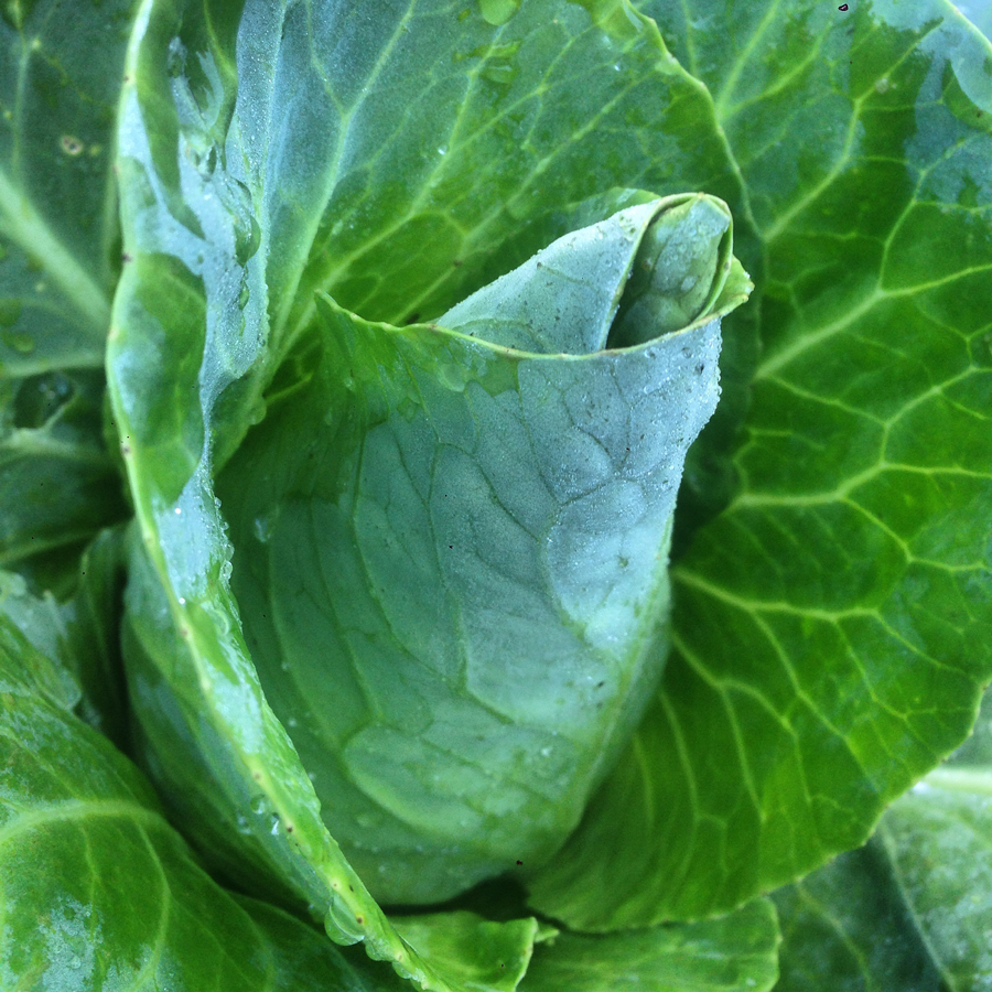 gallery_cabbage.jpg
