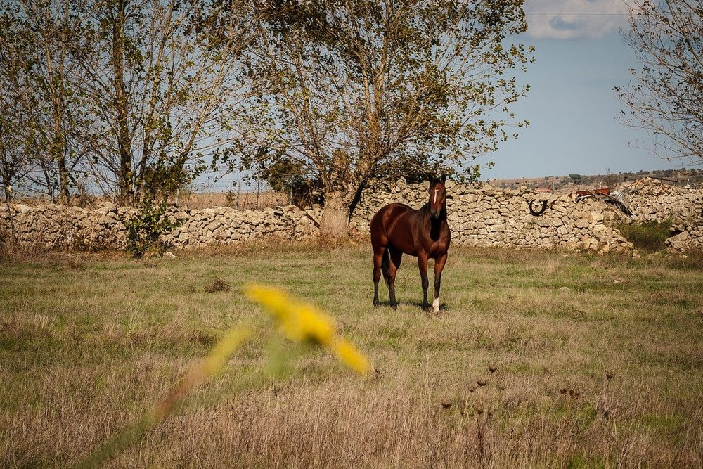 Wild Horses at Giara plains