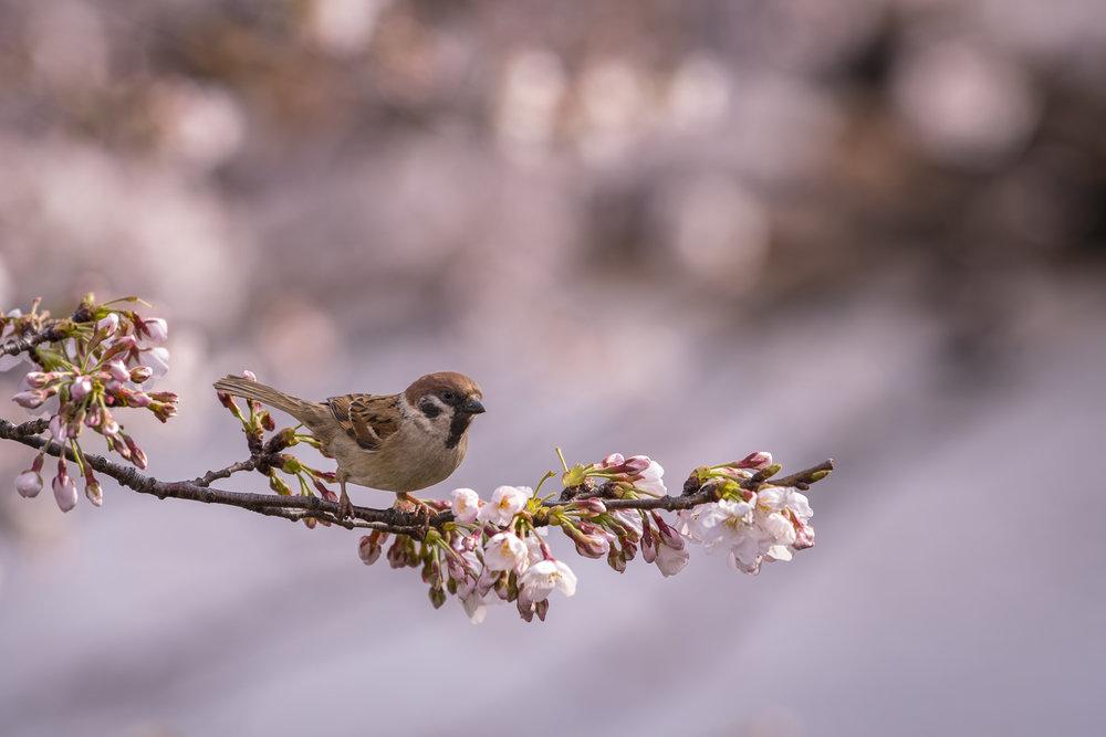 Ueno Park, Tokyo  Photography: Alexander J.E. Bradley • Nikon D500 • AF-S NIKKOR 70-200mm Ƒ/2.8E FL ED VR @ 200MM • Ƒ/4 • 1/400 • ISO 100