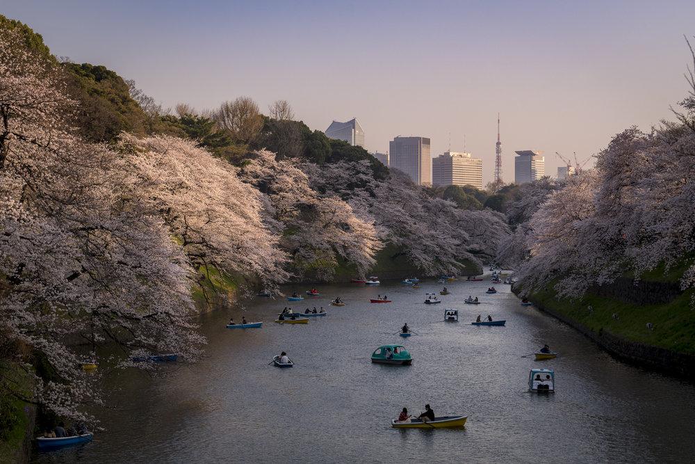 Chidori-ga-fuchi, Tokyo  PHOTOGRAPHY: Alexander J.E. Bradley •NIKON D500 • AF-S NIKKOR 24-70MM ƒ/2.8G ED @ 50MM • ƒ/8 •1/125 •ISO 100