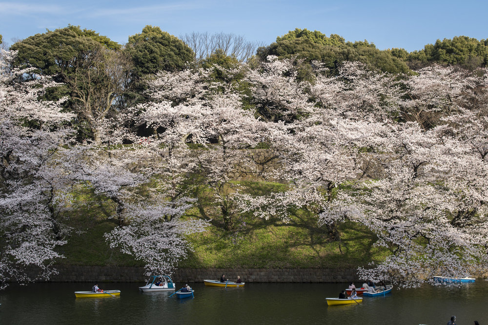 Chidori-ga-fuchi, Tokyo  PHOTOGRAPHY: Alexander J.E. Bradley •NIKON D500 • AF-S NIKKOR 24-70MM ƒ/2.8G ED @ 32MM • ƒ/8 •1/125 •ISO 100